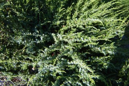 dark_green_foliage
