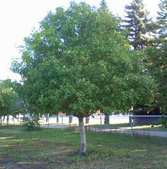 Canyon Treasure™ Bigtooth Maple - Acer saccharum ssp ...