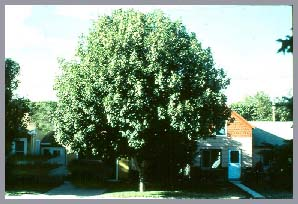 young_oval_shaped_tree