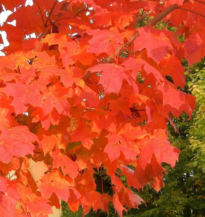 September Flare Sugar Maple Acer Saccharum Septdak Rfm 75
